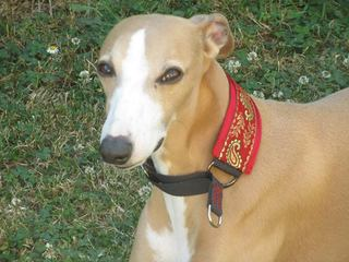 collier whippet manteau