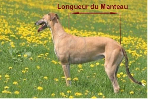 Manteaux Galgo podenco Greyhound